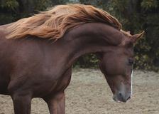 Portret piękny czerwony koń na wolności jesieni zdjęcia royalty free