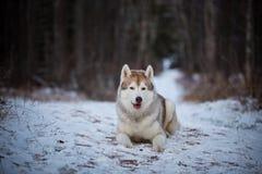 Portret piękny i bezpłatny siberian husky psa lying on the beach na śnieżnej ścieżce w ciemnym tajemniczym lesie w zimie zdjęcie stock