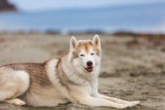 Portret piękny i bezpłatny siberian husky psa lying on the beach na piasek plaży na dennym przodzie zdjęcia royalty free