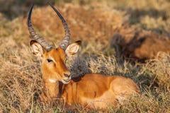 Portret piękny męski impala baran, Afryka Obrazy Stock
