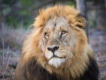 Portret piękny męski lione z wielką grzywą patrzeje dreamily w odległość, Kruger park narodowy, Południowa Afryka Obrazy Royalty Free