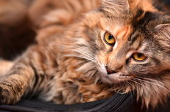 Portret piękny młody Maine coon kot Fotografia Royalty Free