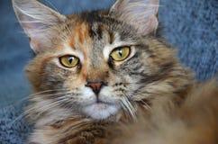 Portret piękny młody Maine coon kot Zdjęcia Royalty Free