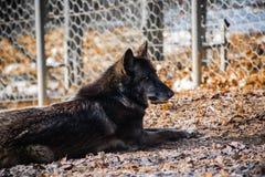 Portret piękny owłosiony czarny wilk w zoo obraz royalty free