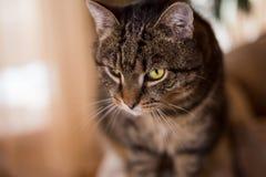 Portret piękny Pasiasty tomcat z forem na jego lewym zielonym oku w jego domowym terenie Kot z magicznymi zielonymi oczami pozuje zdjęcia stock