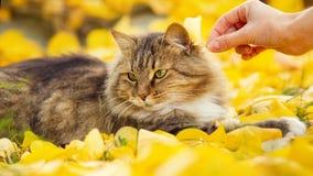 Portret piękny puszysty kota lying on the beach na spadać żółtym ulistnieniu, dziewczyna ręka stawiający liść na zwierzę głowie,  obraz stock