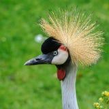 Portret piękny Siwieje Koronowanego żurawia zdjęcie royalty free