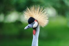 Portret piękny Siwieje Koronowanego żurawia zdjęcie stock