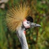 Portret piękny Siwieje Koronowanego żurawia zdjęcia stock