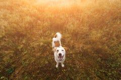 Portret piękny szczęśliwy pies, patrzeje kamerę przy naturą Obrazy Stock