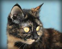 Portret piękny tortoiseshell kot na błękitnym tle Fotografia Stock