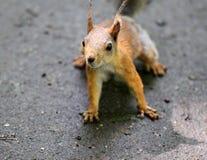 Portret piękna wiewiórka Zdjęcie Stock