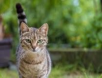 Portret piękno dziki kot z zielonymi oczami Zdjęcie Stock