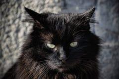 Portret piękny czarny Chantilly Tiffany kot w domu Fotografia Stock