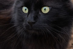 Portret piękny czarny Chantilly Tiffany kot w domu Obraz Stock