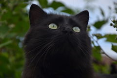 Portret piękny czarny Chantilly Tiffany w ogródzie Fotografia Stock