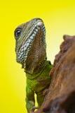 Portret piękny wodnego smoka jaszczurki gada obsiadanie na b Obrazy Stock