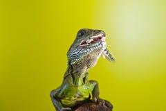 Portret piękny wodnego smoka jaszczurki gada obsiadanie na b Fotografia Stock