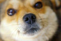 Portret pies Obrazy Royalty Free