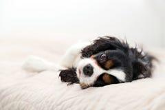 Portret pies Zdjęcia Stock