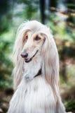Portret pies, Afgańska charcica, dyptych zdjęcie stock