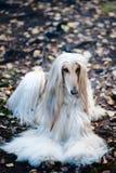 Portret pies, Afgańska charcica Pies jest jak mężczyzna obraz royalty free