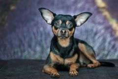 Portret pies, szczeniak na naturalnym tle z lawendą f Zdjęcie Royalty Free