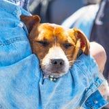 Portret pies w rękach właściciel zdjęcie royalty free