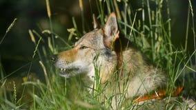 Portret pies w trawie zbiory