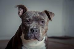 Portret Pit Bull obraz royalty free