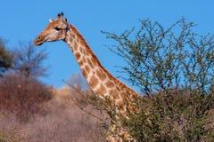 Portret południe - afrykańska żyrafy Giraffa camelopardalis żyrafa obrazy stock