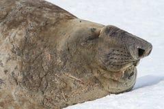Portret południowa słoń foka z zamkniętymi oczami Zdjęcie Stock
