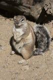 Portret południe - afrykanin zmielona wiewiórka, Xerus inauris Zdjęcie Royalty Free