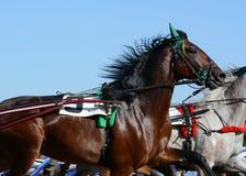 Portret podpalanego konia kłusaka traken w ruchu na hipodromu zdjęcie stock
