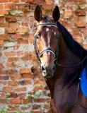 Portret podpalany koń na tle ściana z cegieł Fotografia Royalty Free