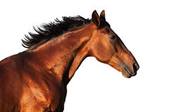 Portret podpalany koń w profilu na białym tle Zdjęcie Stock