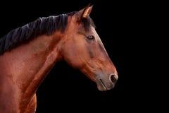 Portret podpalany koń na czarnym tle Obraz Stock