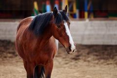 Portret Podpalany koń w arenie Zdjęcia Stock