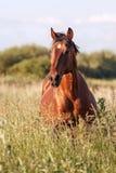 Portret podpalany koń w wysokiej trawie w lecie Zdjęcia Royalty Free