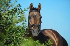 Portret podpalany sporta koń na nieba tle w zielonym krzaku zdjęcia stock