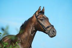 Portret podpalany trakehner sporta koń na nieba tle w zielonym krzaku zdjęcie royalty free