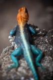 Portret Pomarańczowa Głowiasta Agama jaszczurka Obrazy Royalty Free