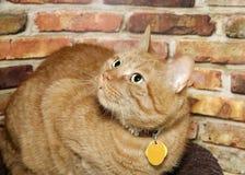 Portret pomarańczowy tabby kot z kołnierzem Obraz Royalty Free