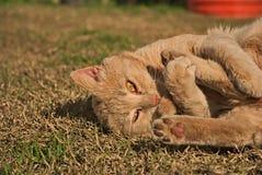 Portret pomarańczowy kot w naturze Zdjęcie Stock