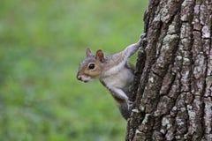 Portret popielata drzewna wiewiórka obraz stock