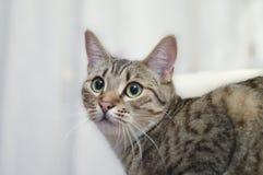 Portret popielatego europejskiego krótkiego włosy kota zieleni oczy Zdjęcia Royalty Free