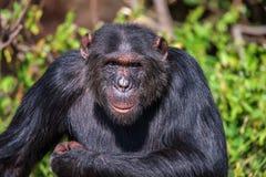 Portret Pospolity szympans w dzikim, Afryka Fotografia Royalty Free