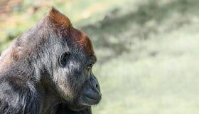 Portret potężny alfa samiec Afrykański goryl przy strażnikiem obrazy royalty free