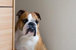 Portret poważny spokojny Angielski buldog Fotografia Stock