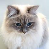 Portret powabny młody biały kot na szarym tle w górę ślicznego kota zdjęcie stock